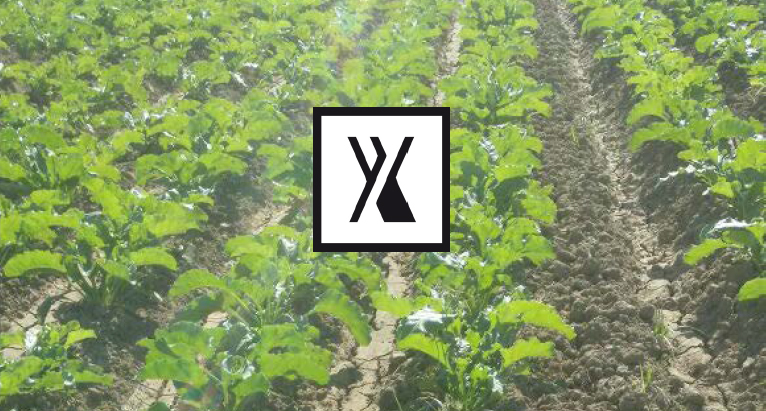 sugarbeets Chelates--biostimulants--specialized-fertilizers---plant-nutrition-yields-sustainable-agriculture---productive-agriculture---optimize-crop-yields---sustainable-farms---fertilizers
